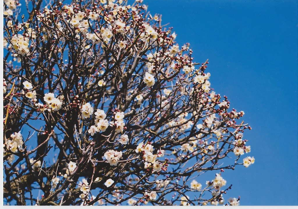 カメラのキタムラ で写真プリント 梅の花
