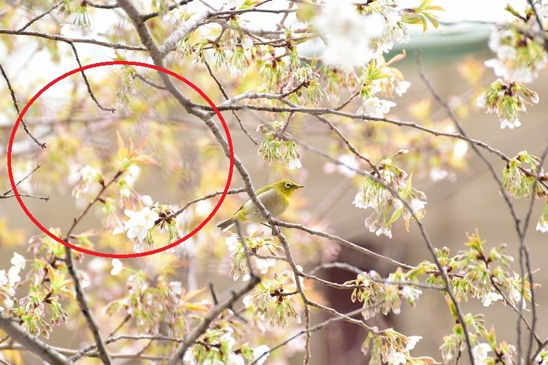 桜とメジロ 2線ボケ