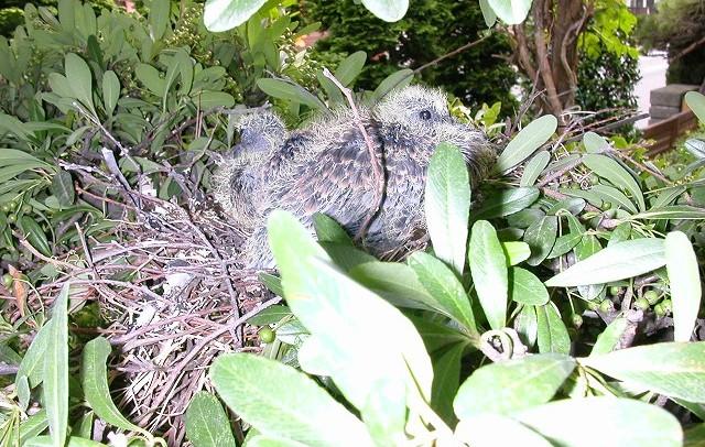 ハトの営巣 自宅の庭