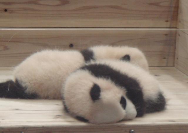 ダラダラ過ごす パンダ