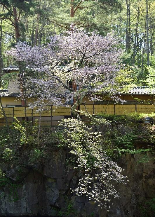 長野県小諸市 常盤館 桜