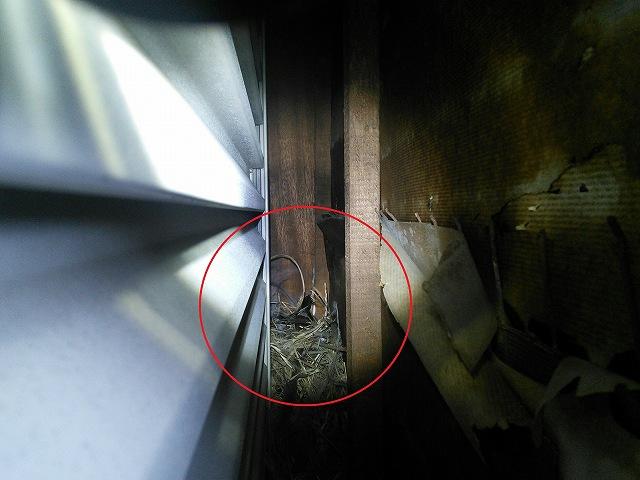 ムクドリの営巣 戸袋内