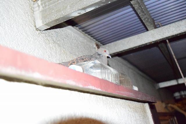 ベランダ ハトの巣づくり