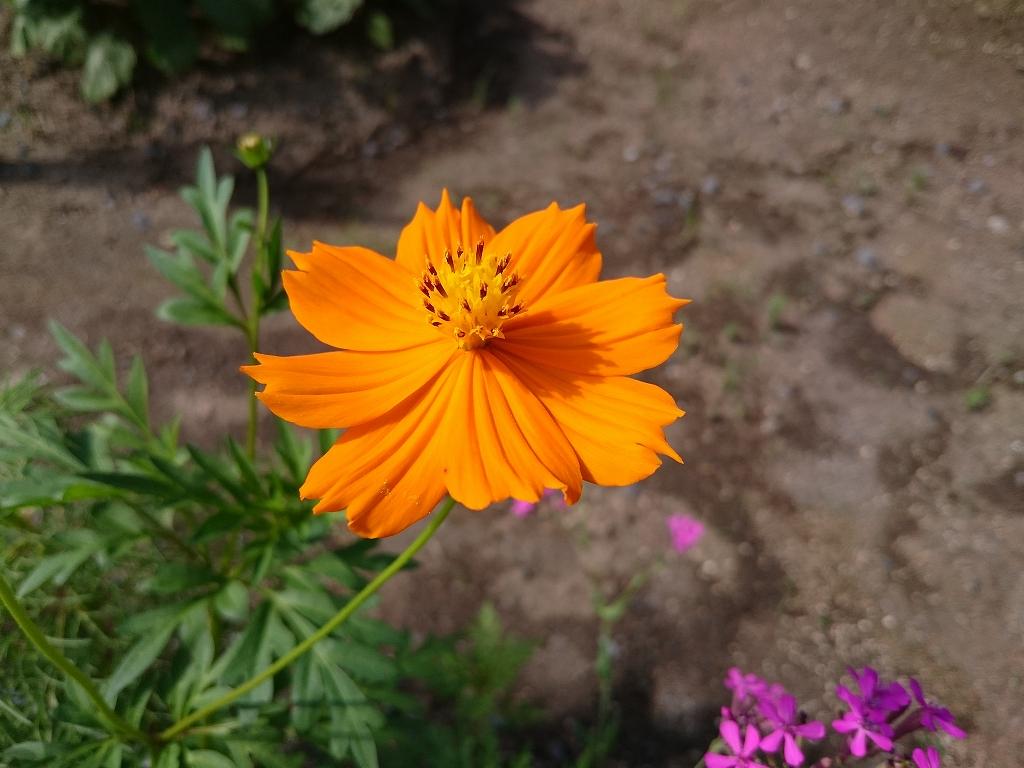 スマホ比べ オレンジの花