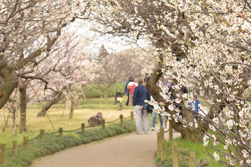 越谷梅林公園 梅の花
