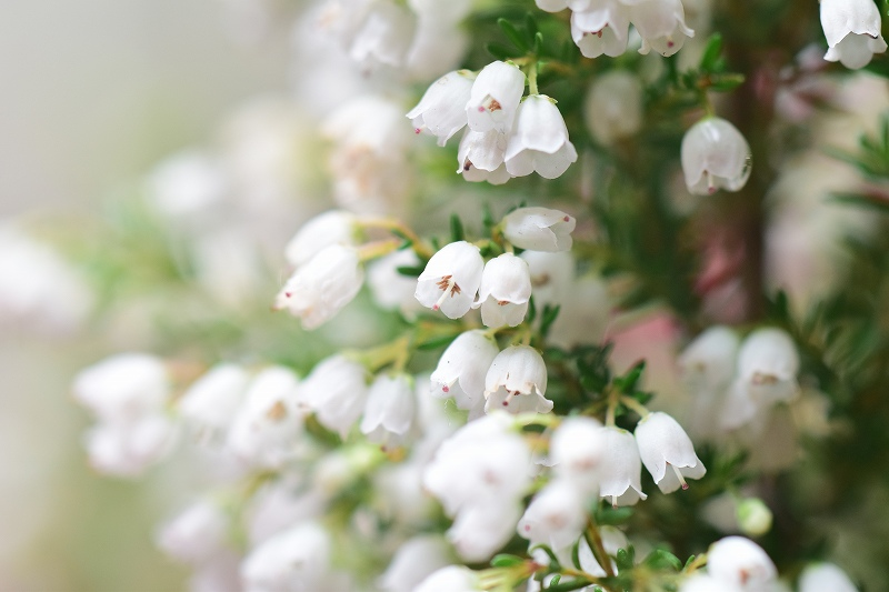小さな白い花