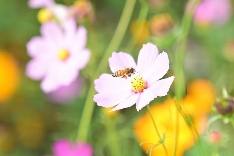 コスモス畑 花とミツバチ