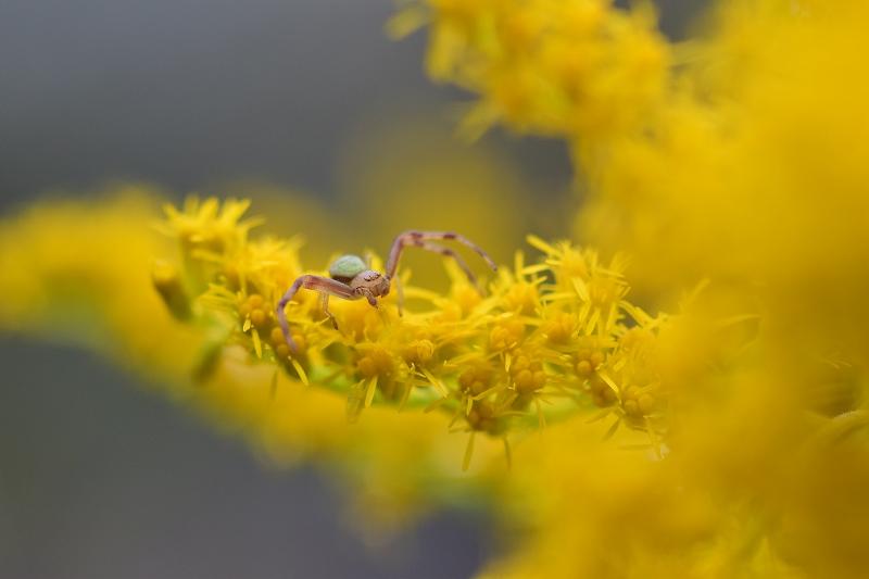 マクロレンズで撮影した花クモ
